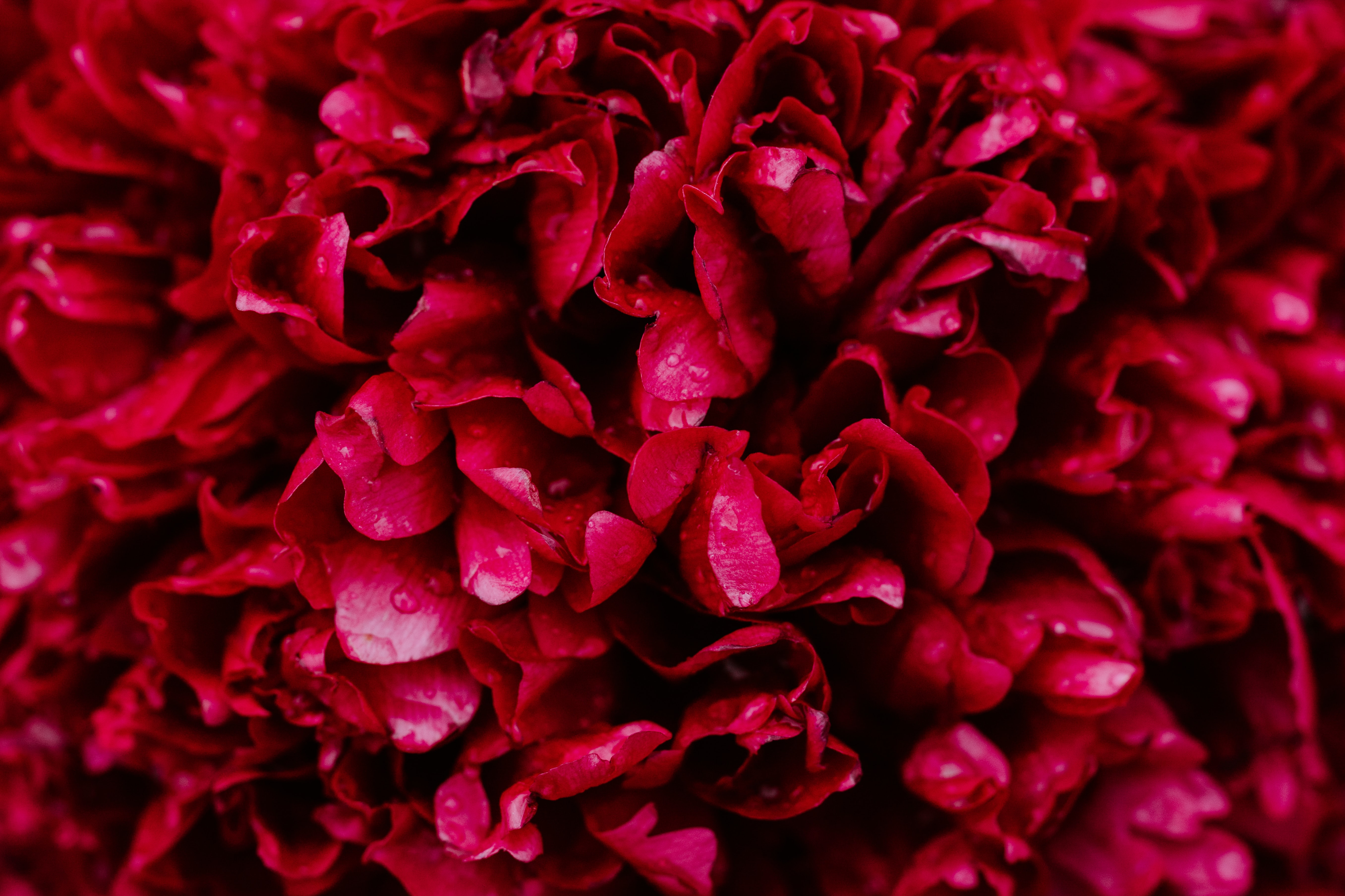 bundle of red roses