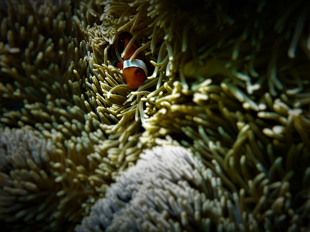 closeup photo of red clownfish coming out from coral