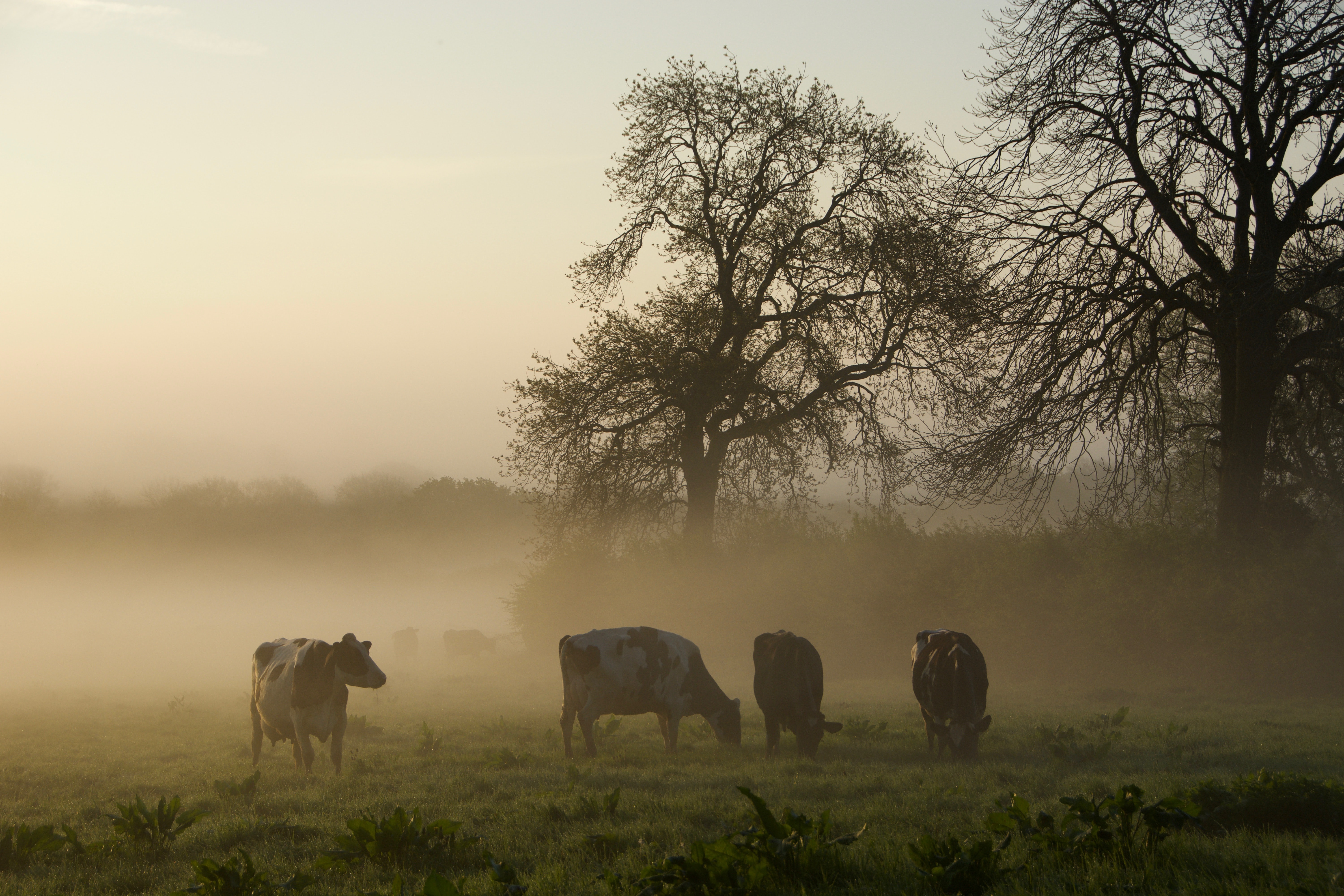 four brown cattles surrounded by fog