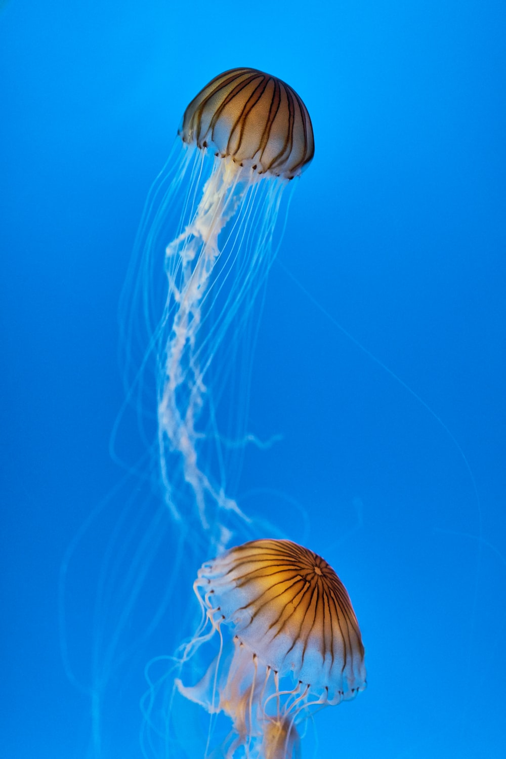 two brown jelly fishes