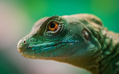 green lizard macro zoom background