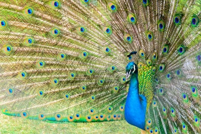 photo of peacock
