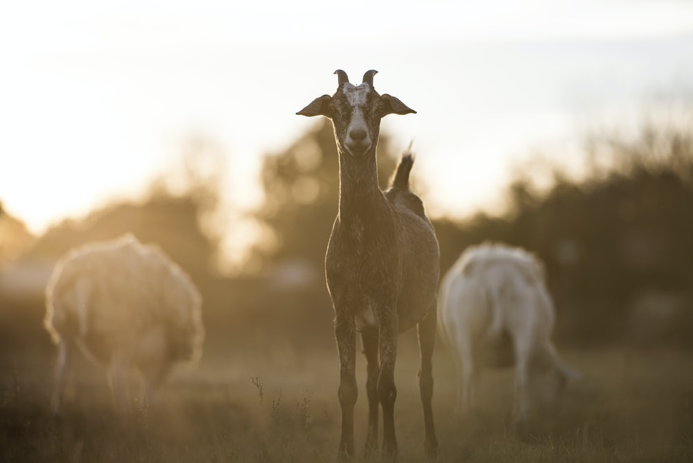 brown and white goat during daytime
