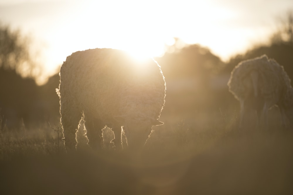 two white sheep on field during sunrise