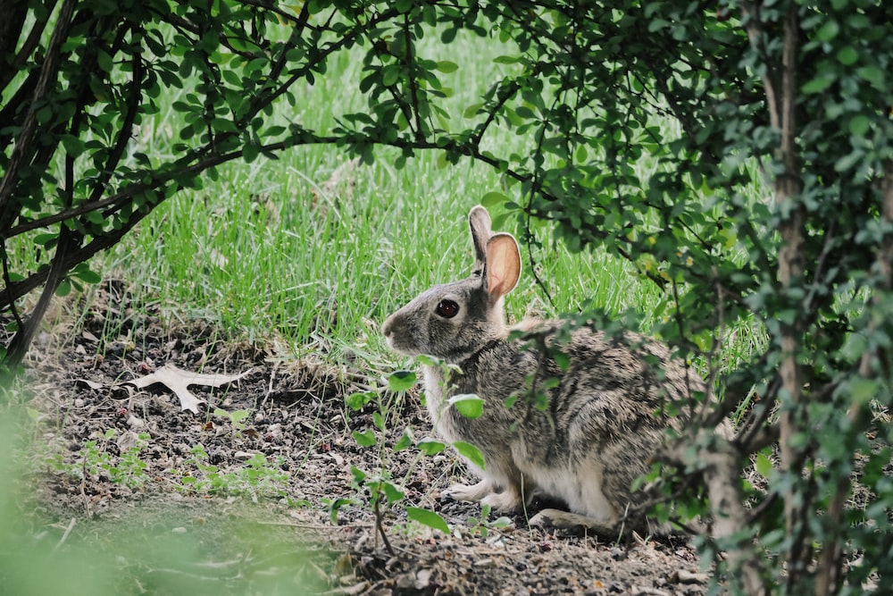 selective focus photography of gray Hare