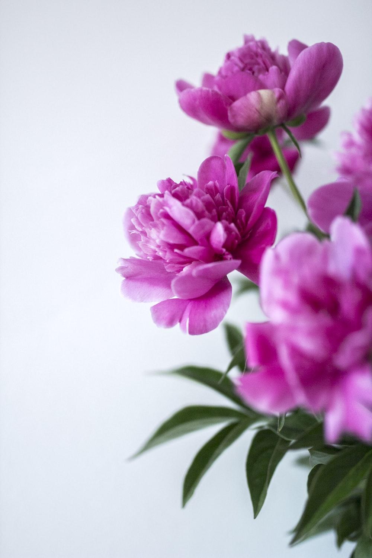 purple petaled flowers against white background