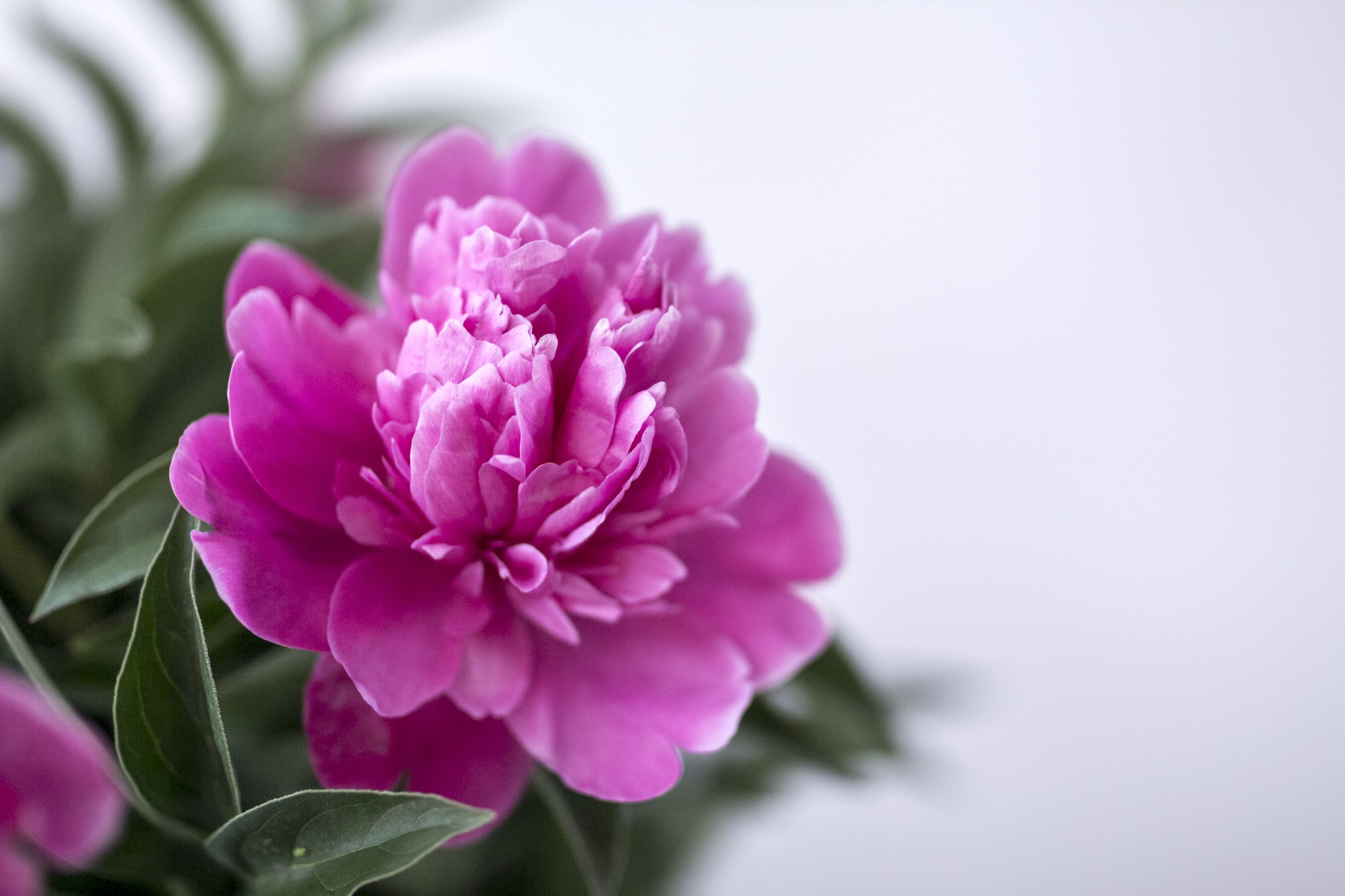 closeup photography pink and white petaled flower