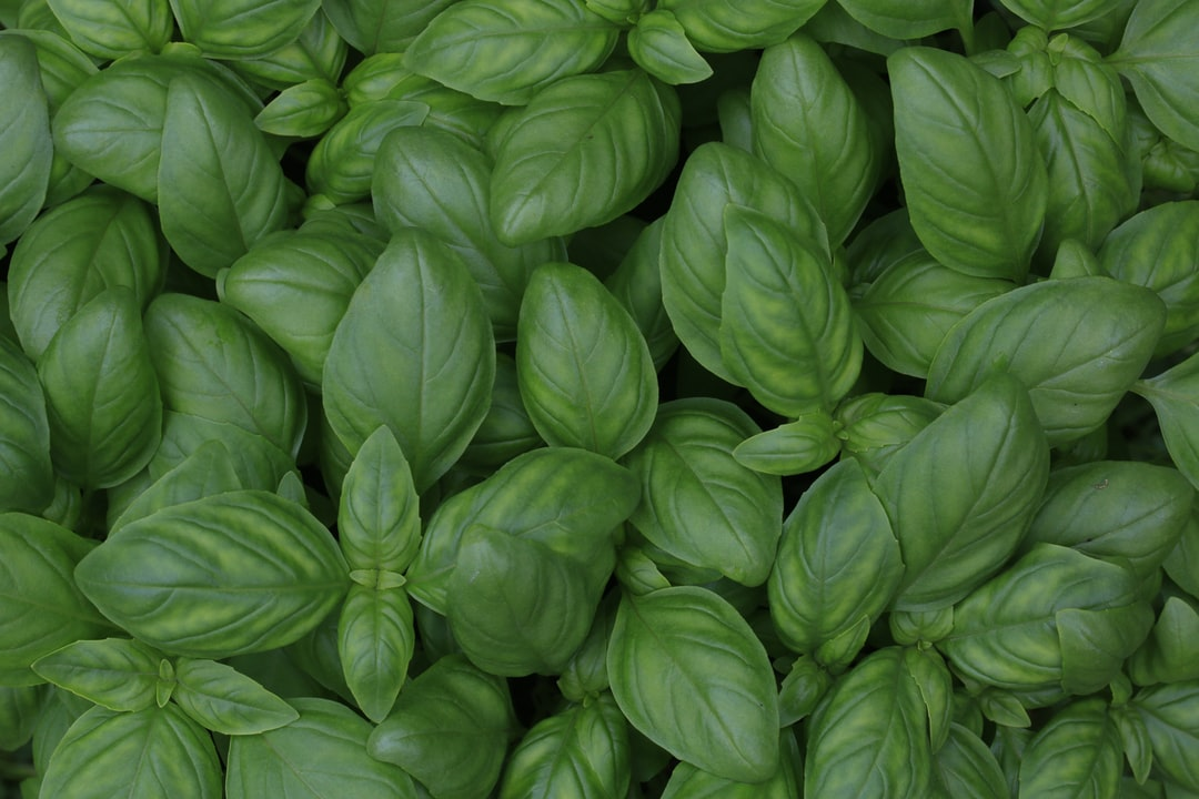 Young basil leaves