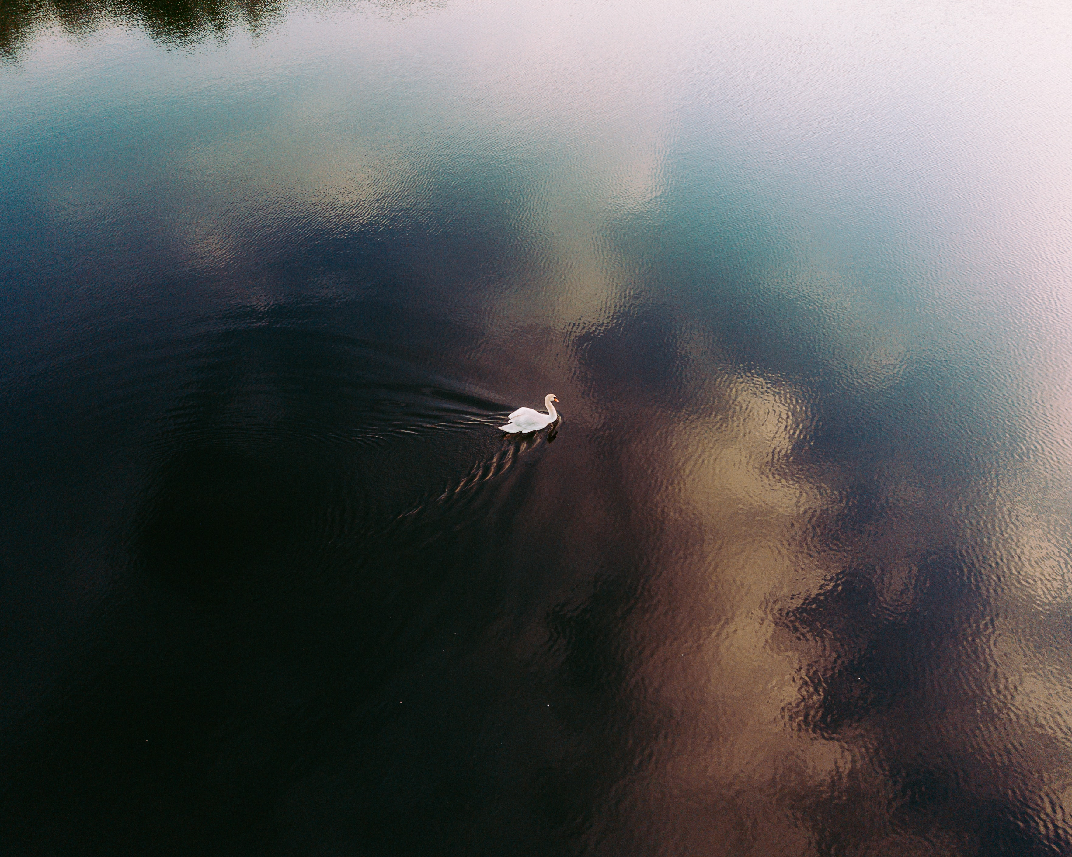 white swan swimming on body of water during daytime