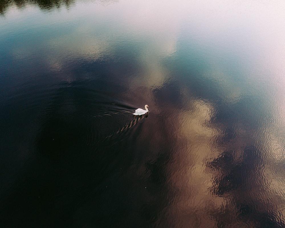 white swan swimming on body of water during daytime