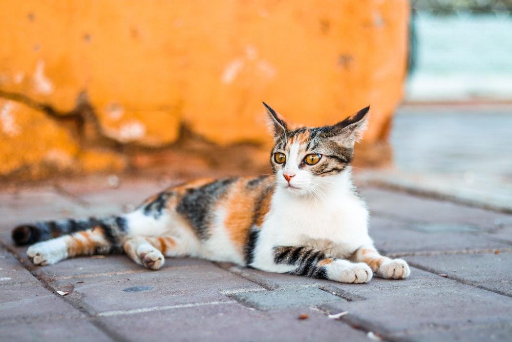 white, brown, and black cat on bricks flooring