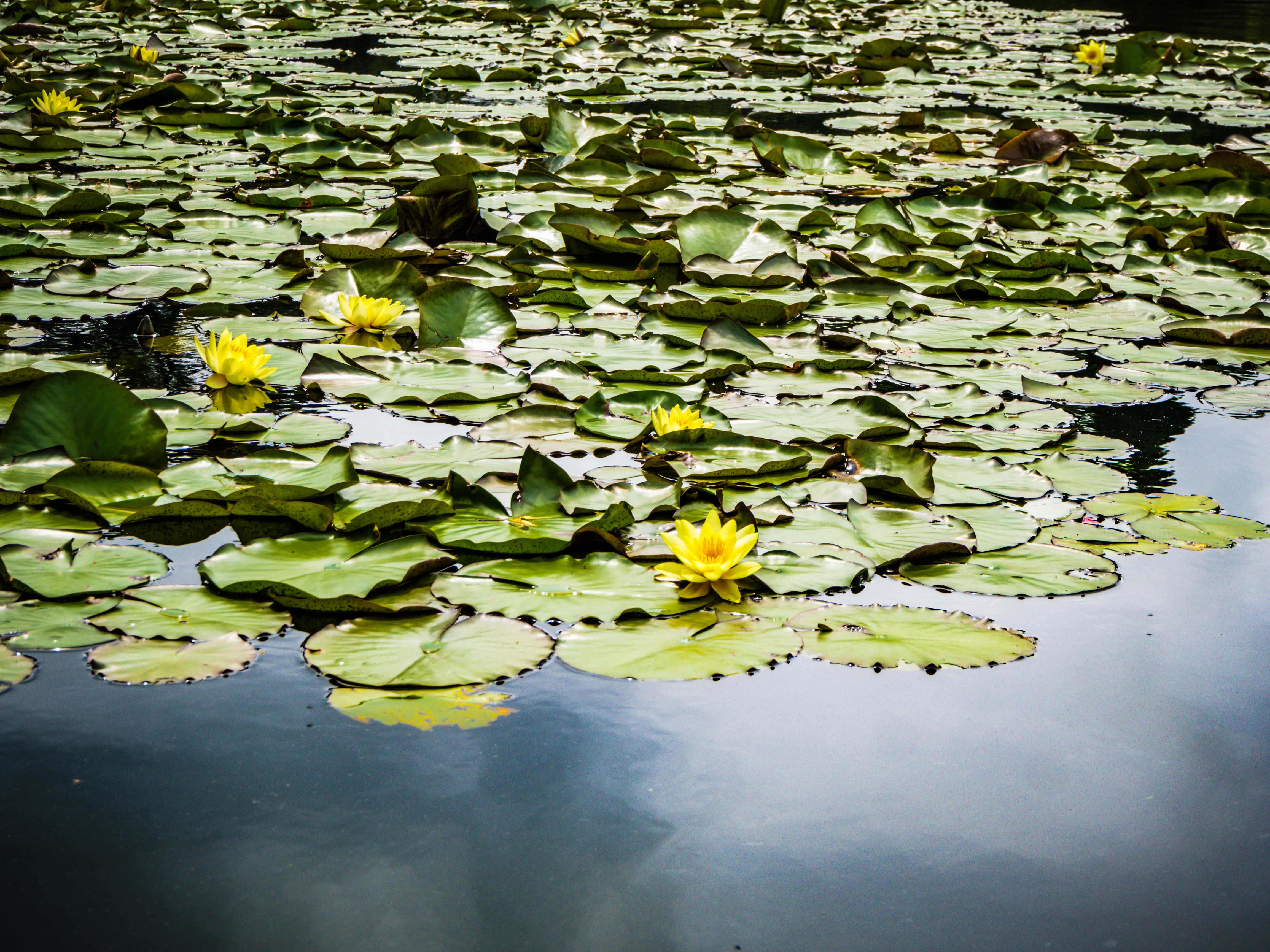 lily plants on body of water