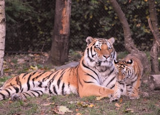 tiger and calf beside tree