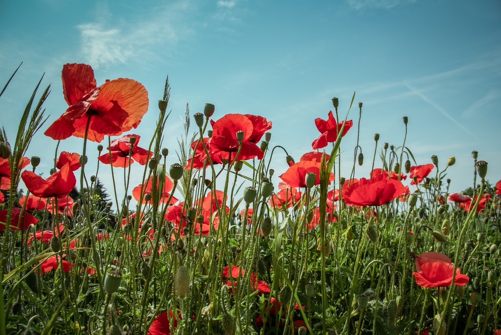Poppy pictures download free images on unsplash red poppy flowers mightylinksfo