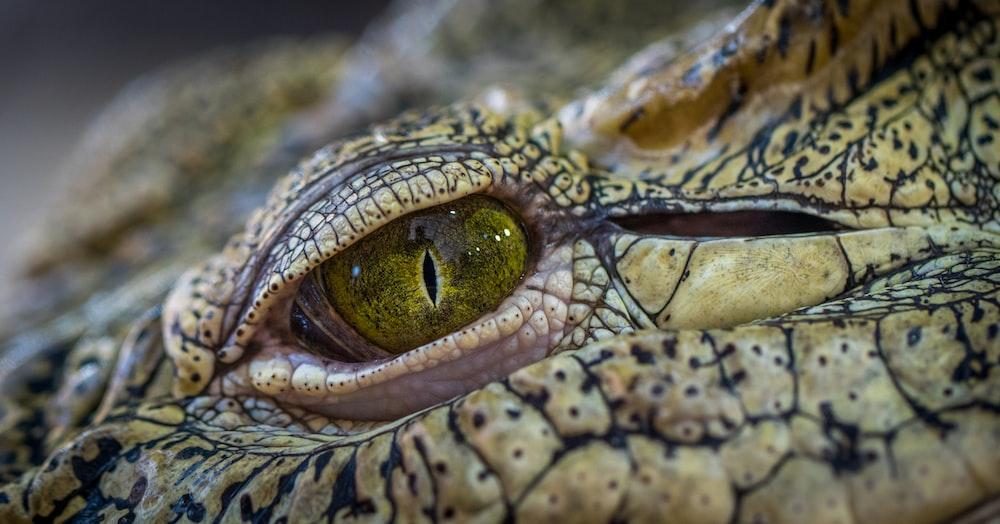selective focus photography of crocodile eye