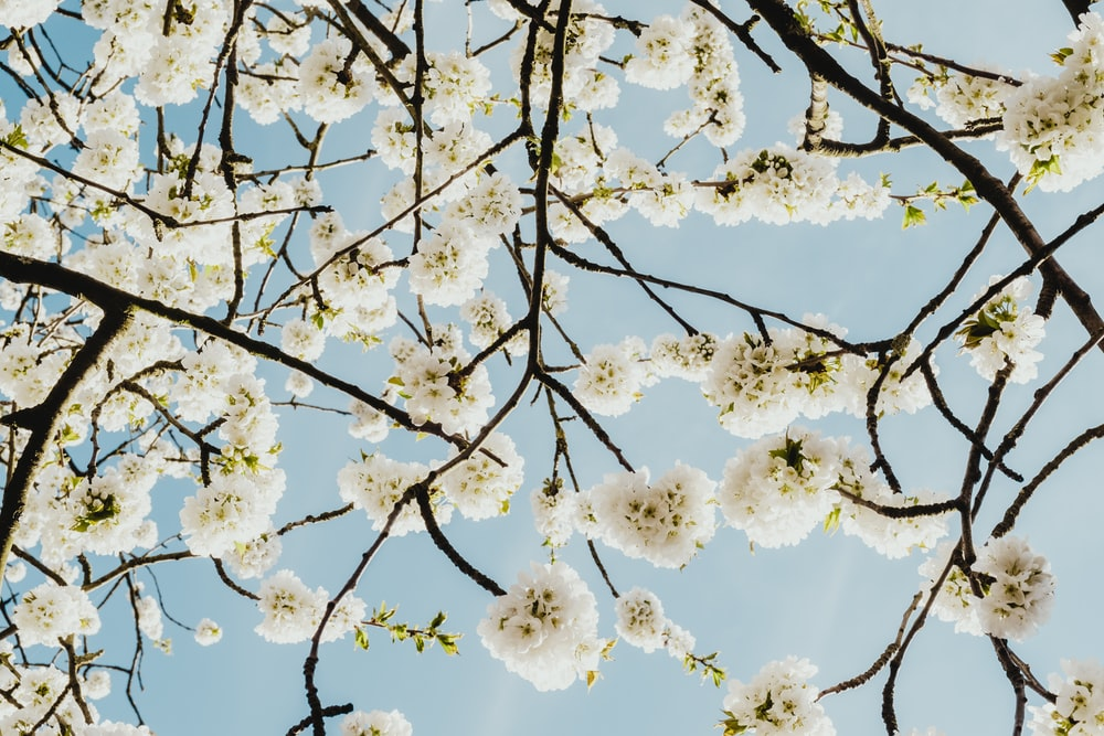 white cherry blossom flower low angle photography