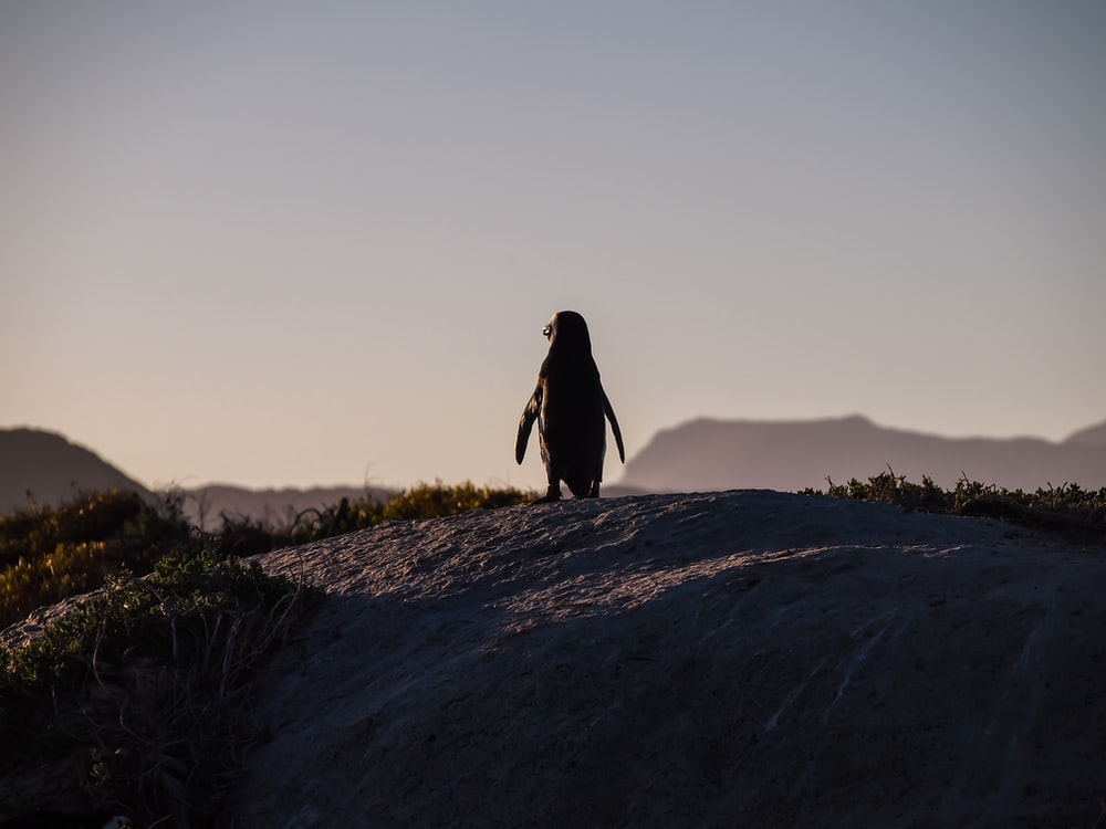penguin standing on cliff