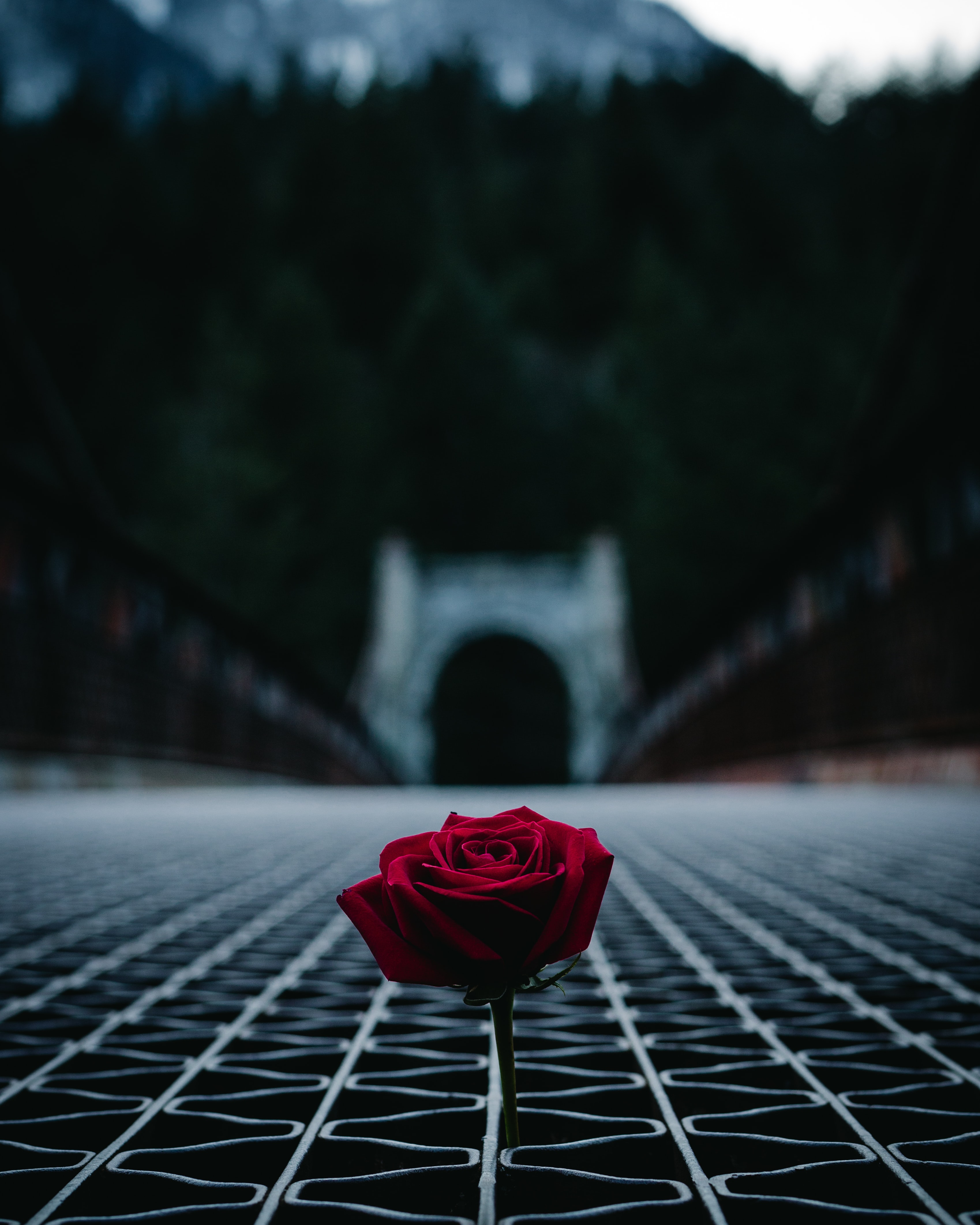red rose in the middle of bridge during daytime