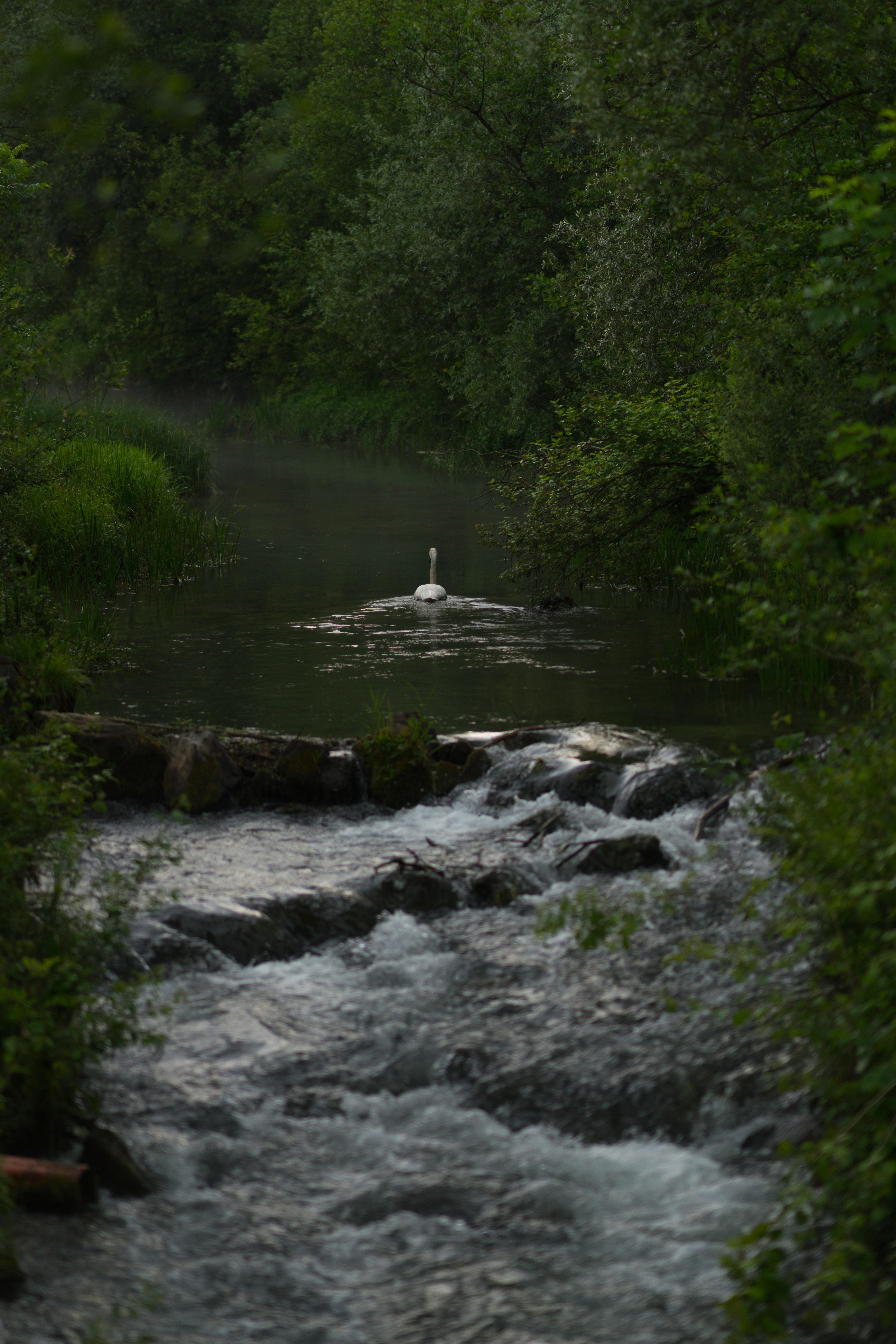 swan galloping on river wallpaper