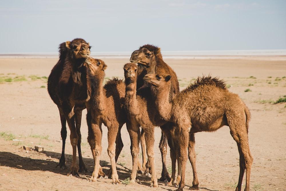 five camels on desert