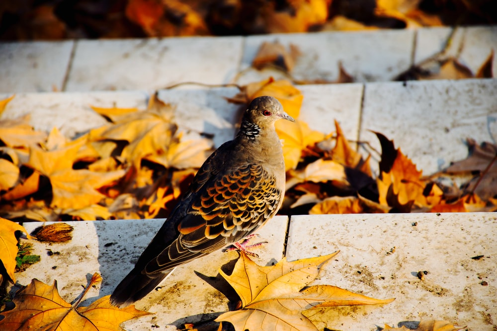 shallow focus photography of brown and gray bird surrounded by maple leaves