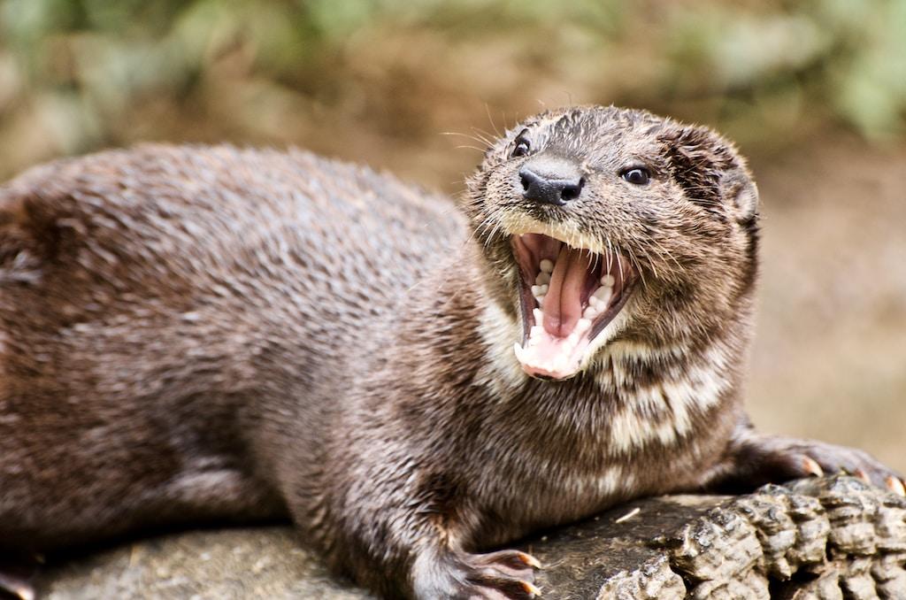 closeup photo of ferret