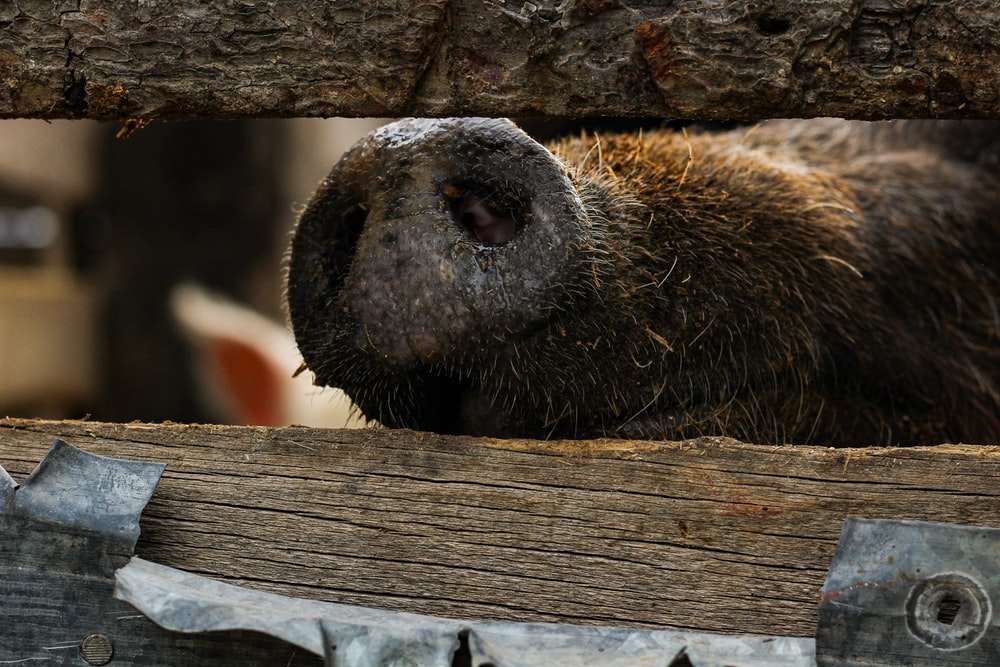 brown pig inside cage