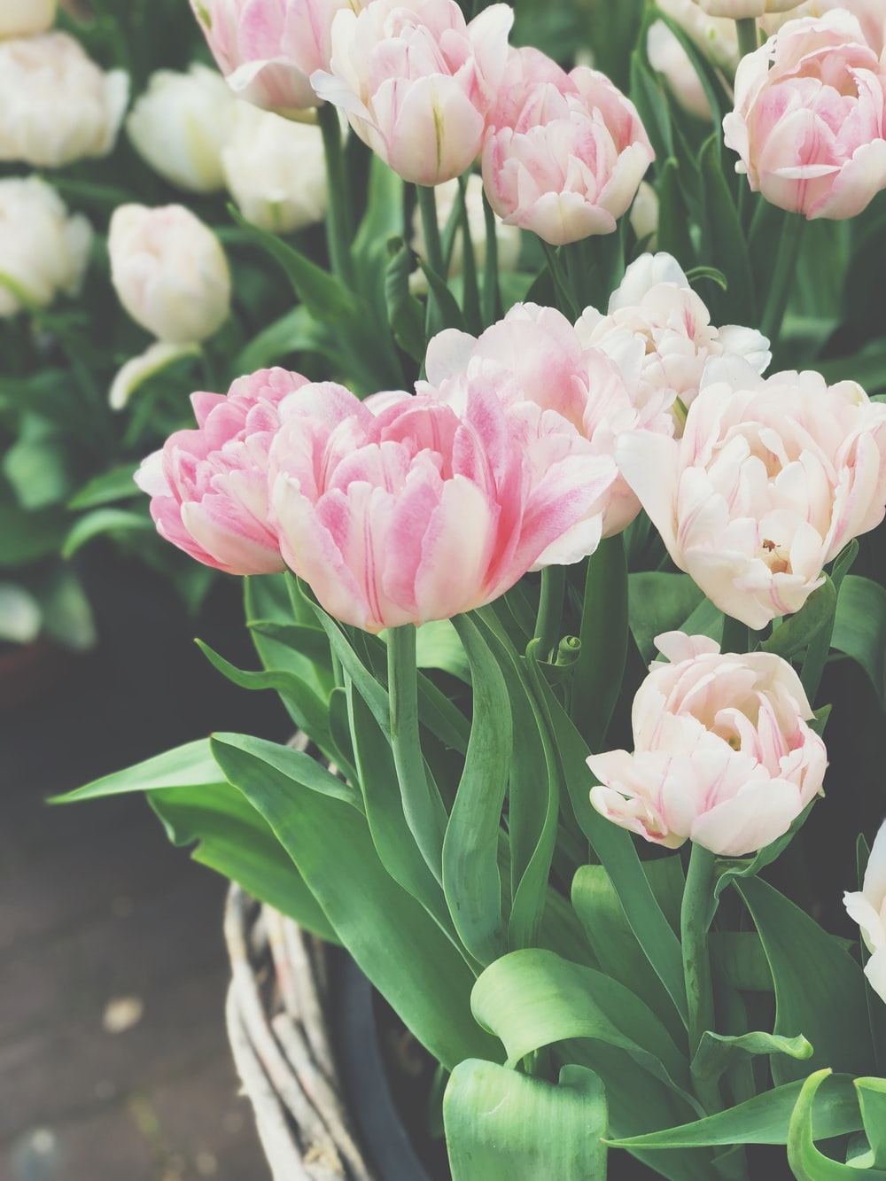 pink and white tulip flowers
