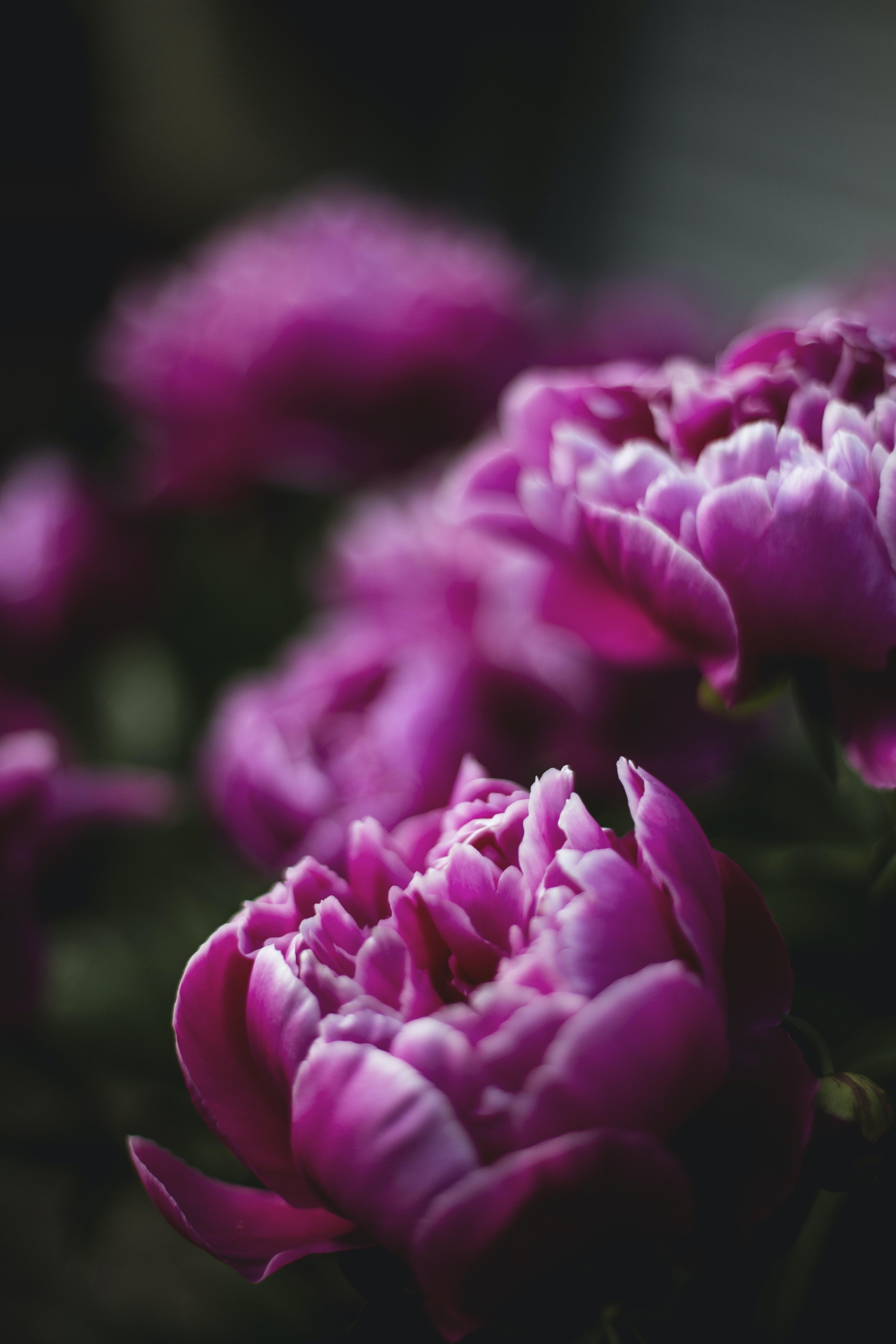 pink peony closeup photography