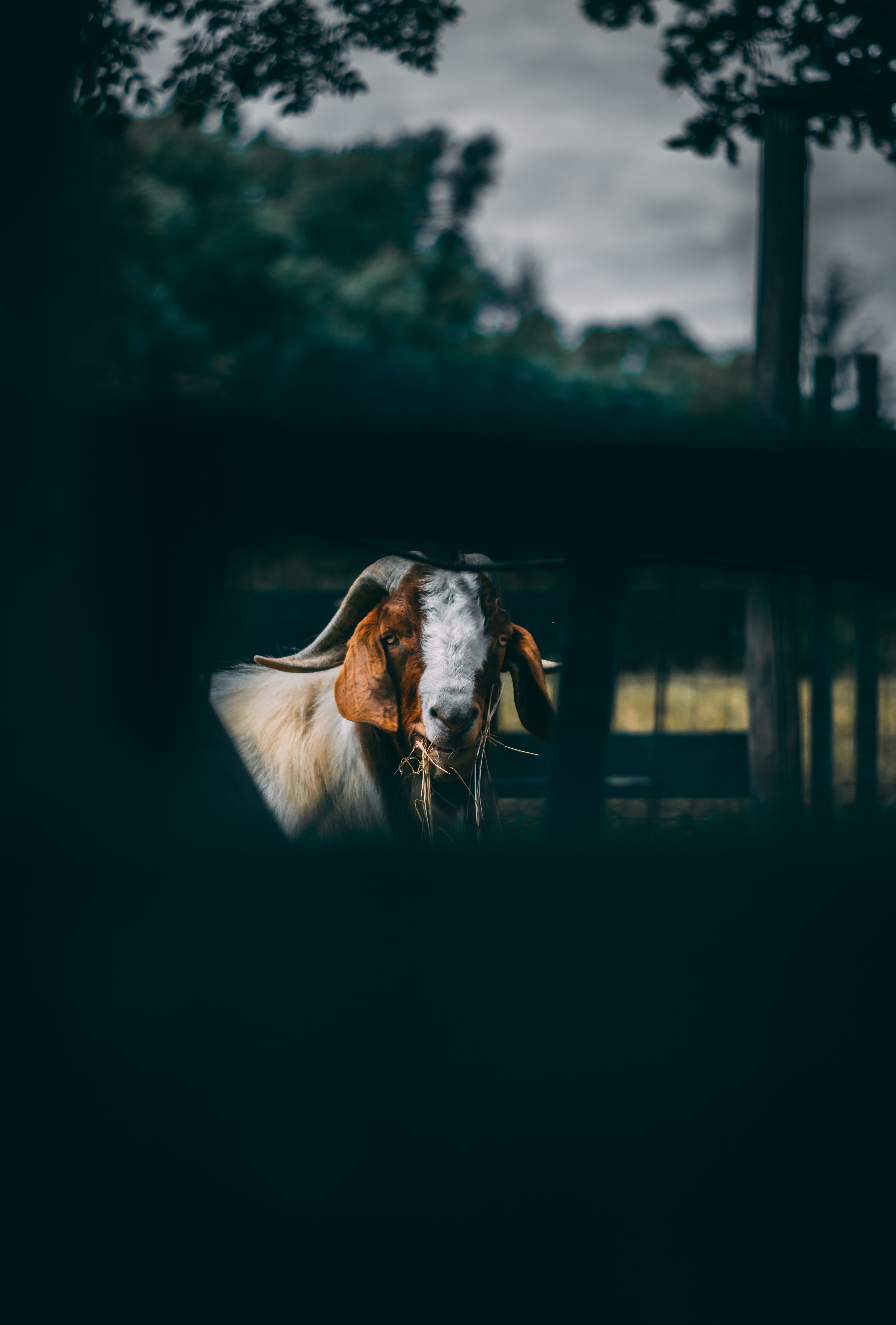 tilt shift lens photo of white and brown goat