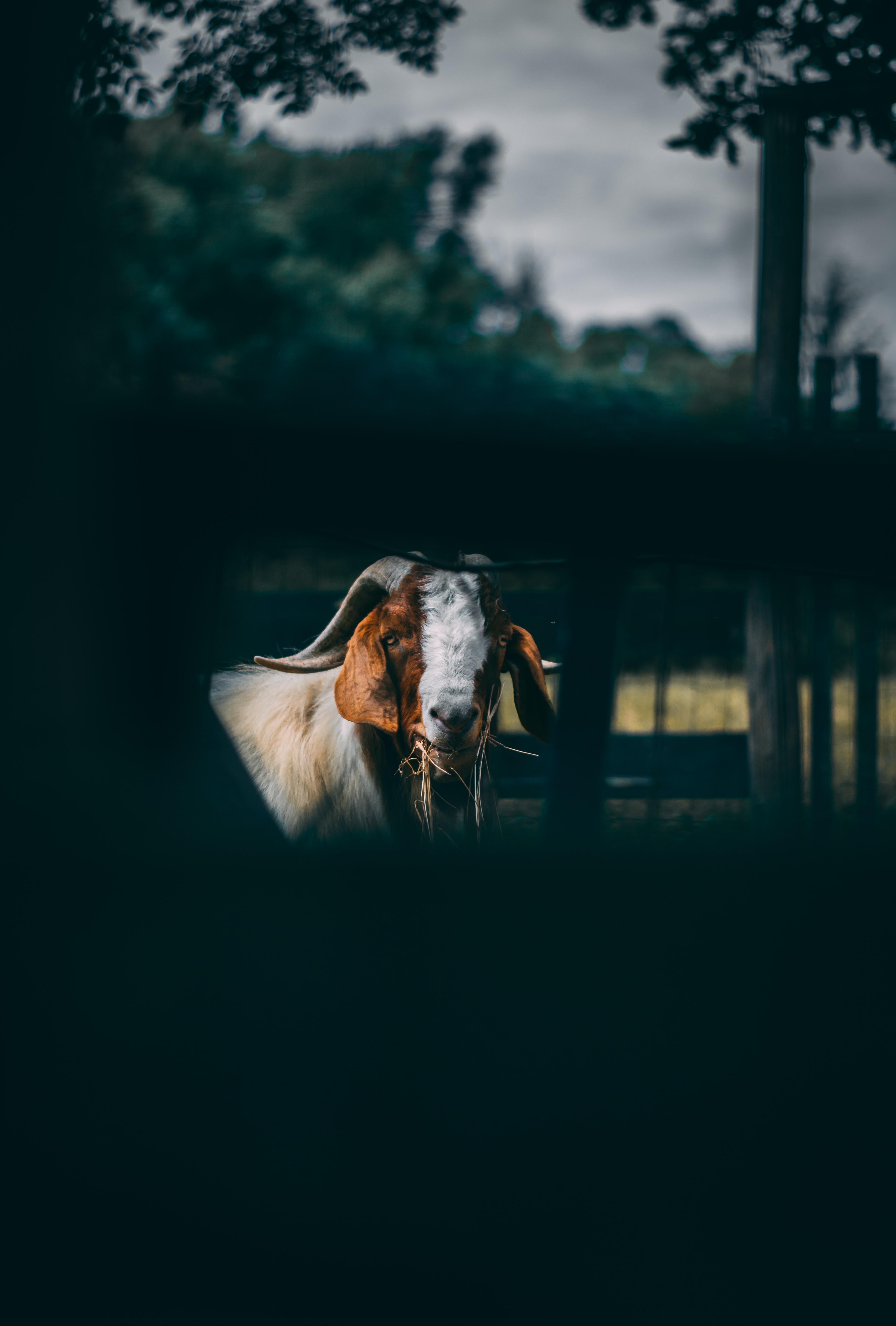 tilt shift lens photo of white and brown goat