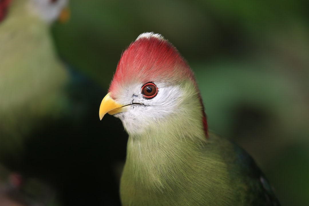 A  Red-crested Turaco in at the Tropical Butterfly House, Sheffield https://www.butterflyhouse.co.uk/