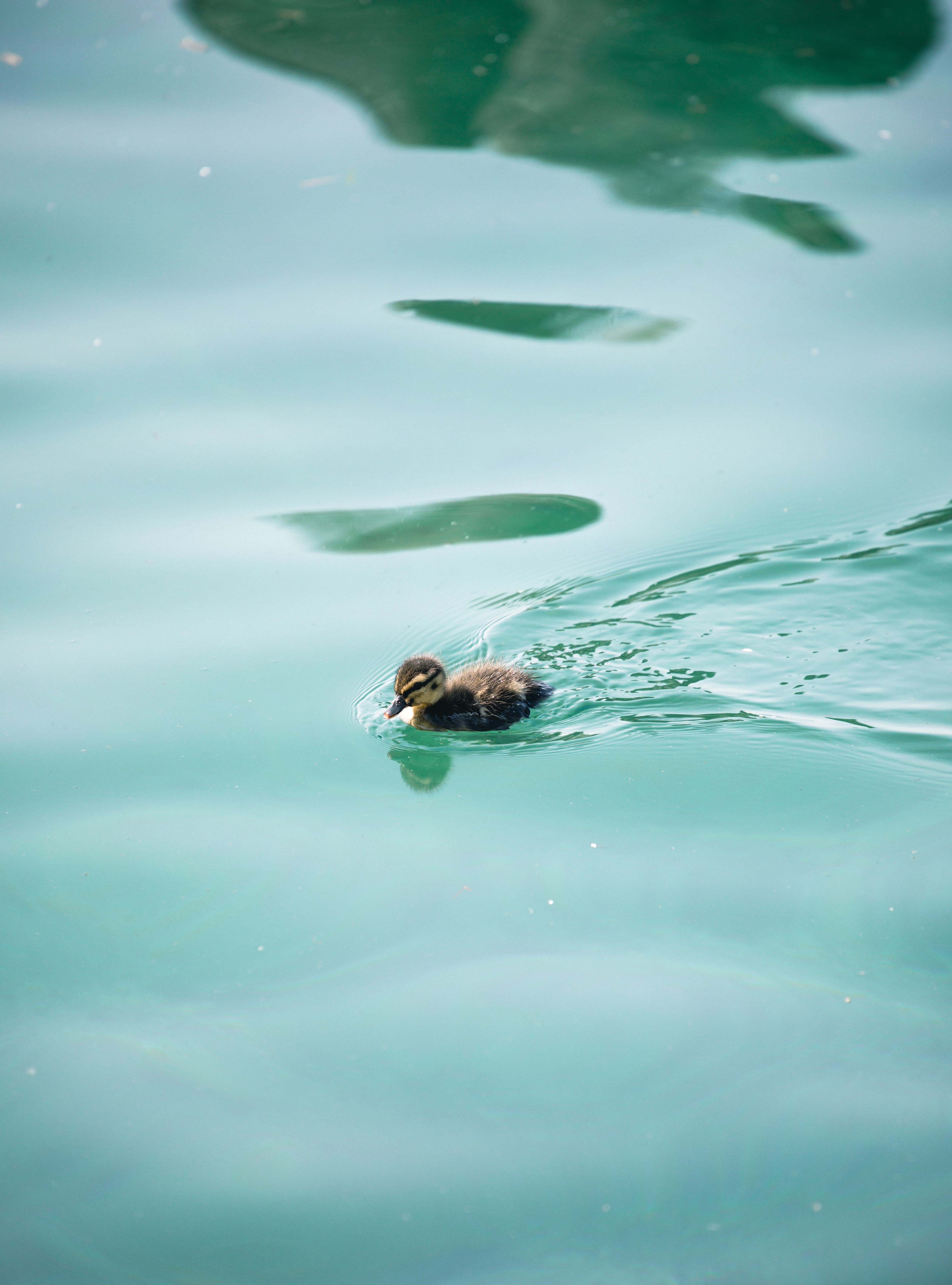 brown duckling swimming in water