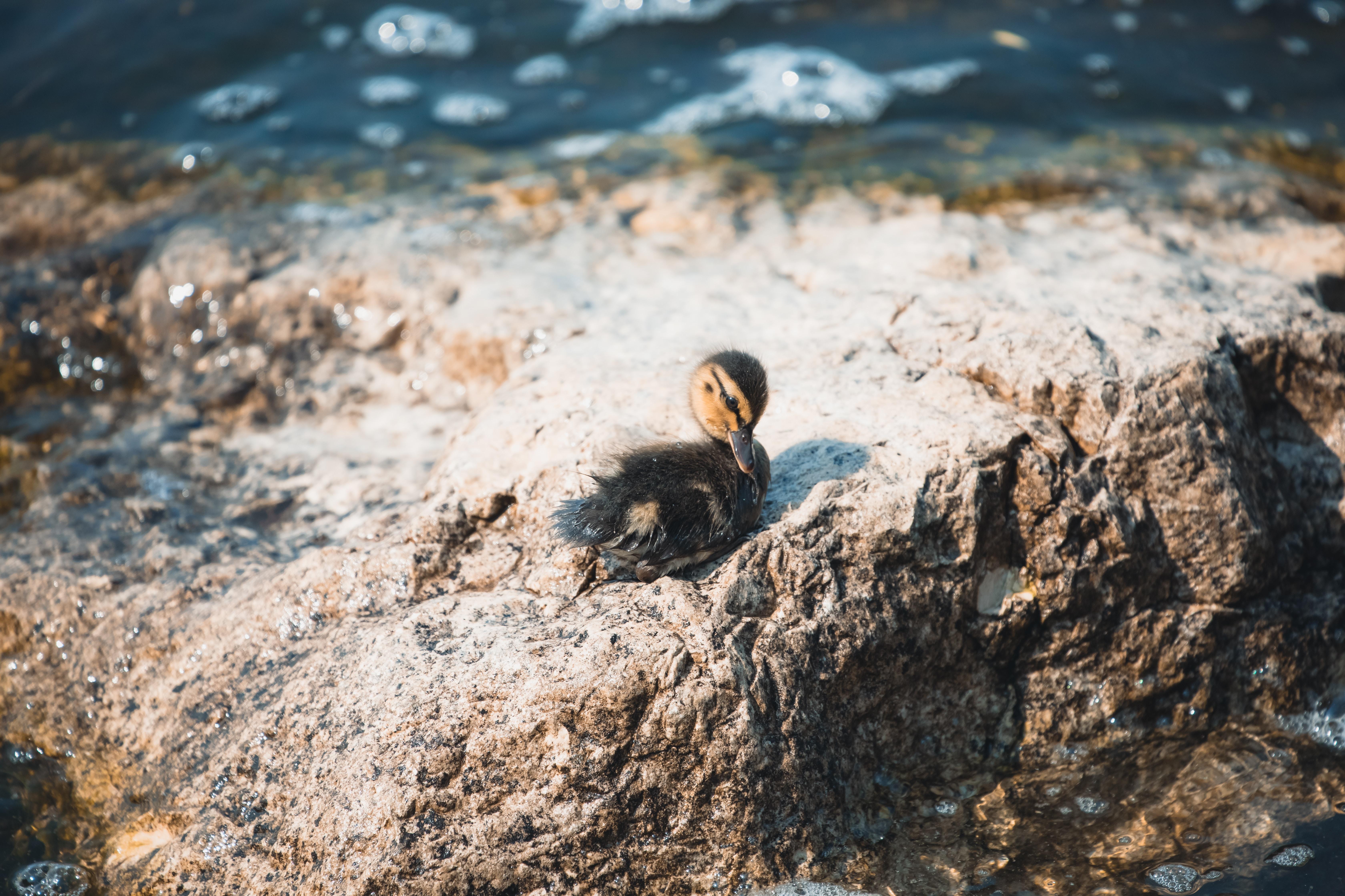 black duck on stone near body of water