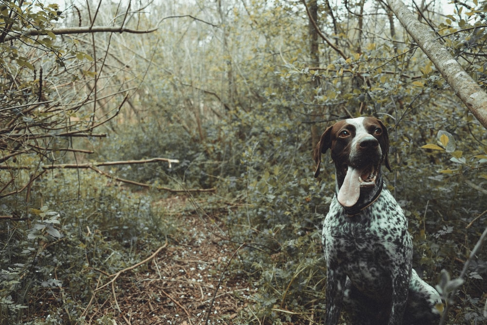 black, white, and brown dog, german shorthaired pointer, top 10 dog breeds