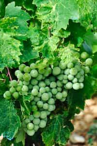 Ghost in The Grape Vine  grape stories