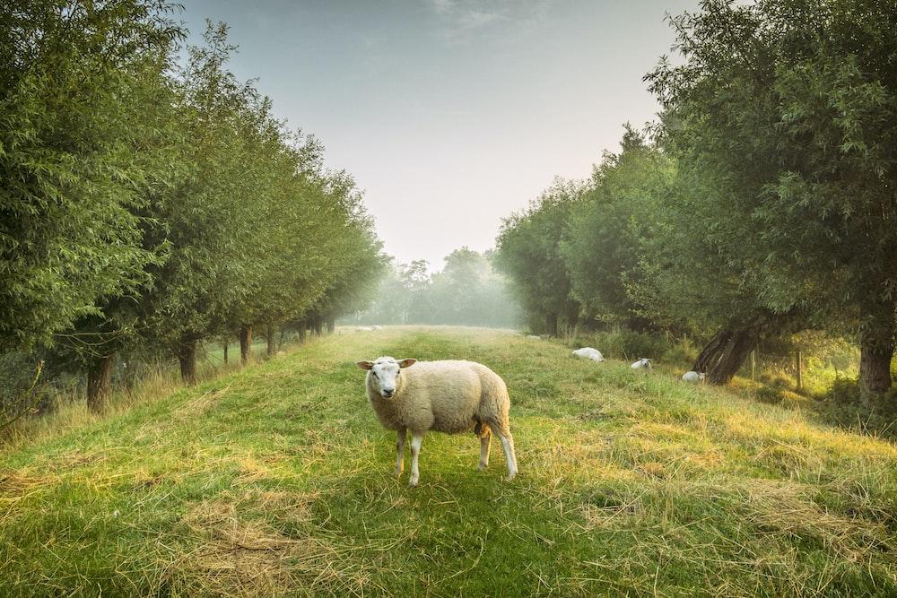 sheep standing between trees
