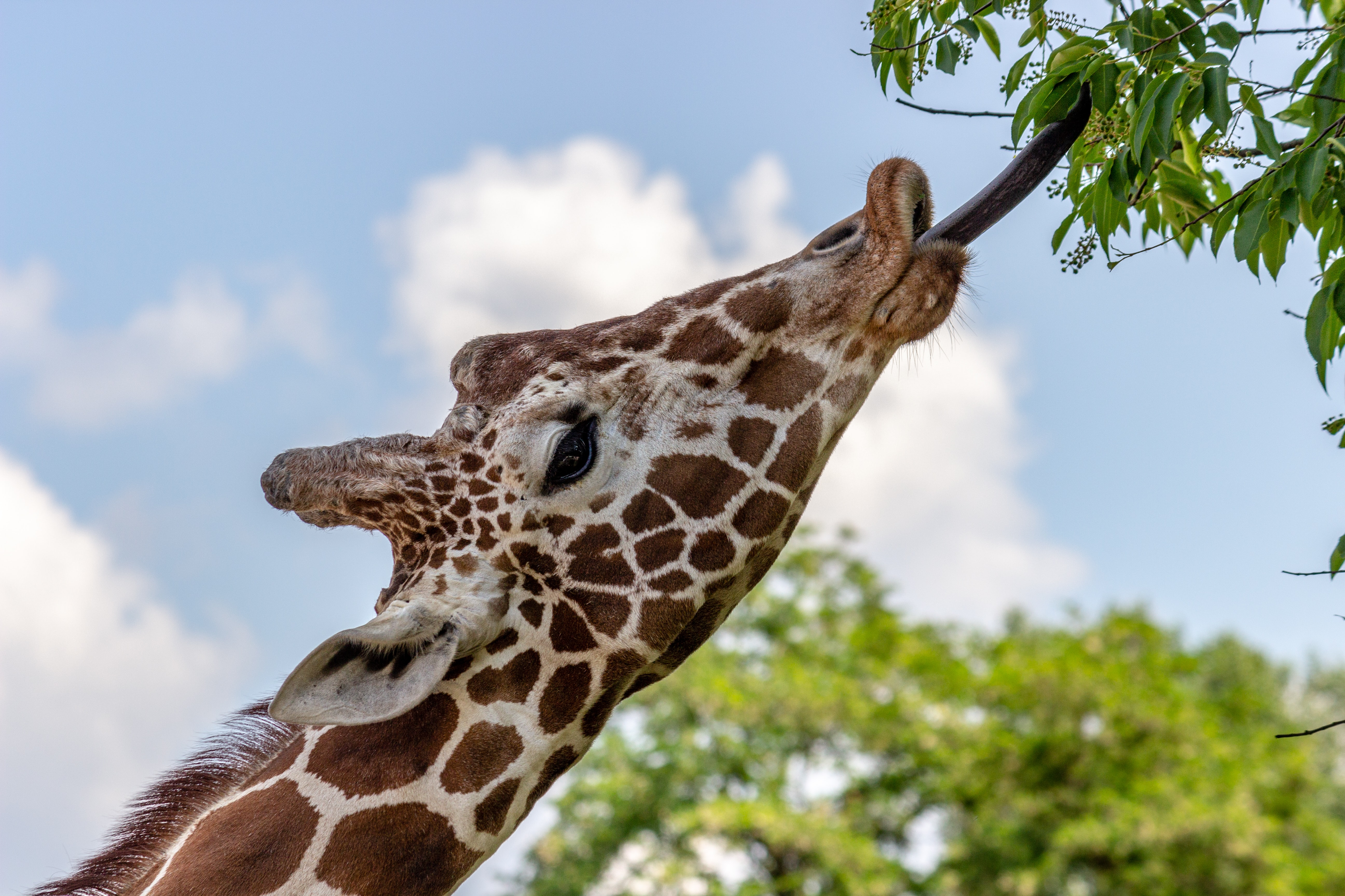 giraffe reaching tree leaves by its tongue during daytime
