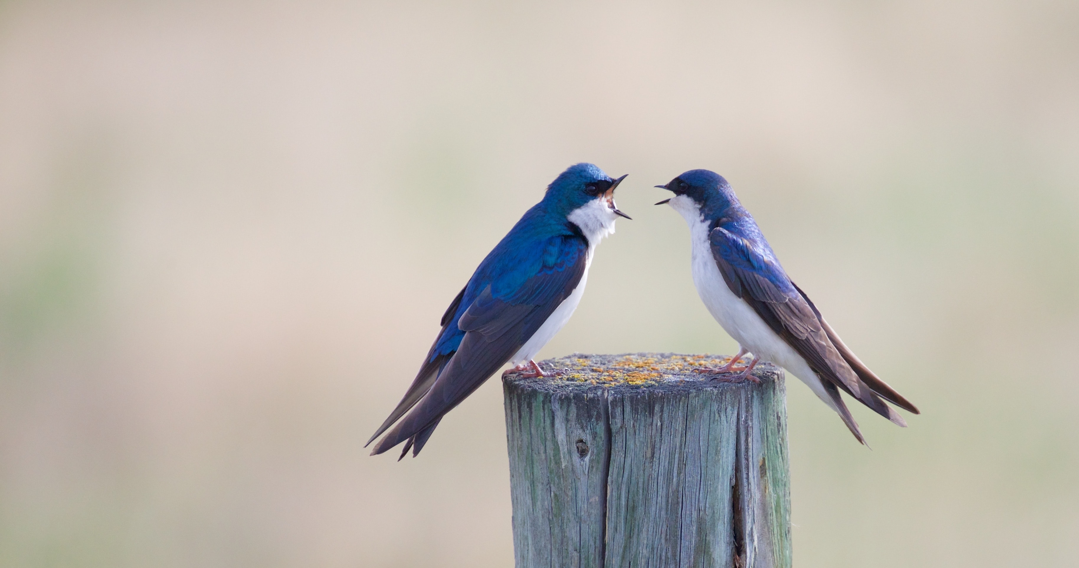 two blue birds on wooden post