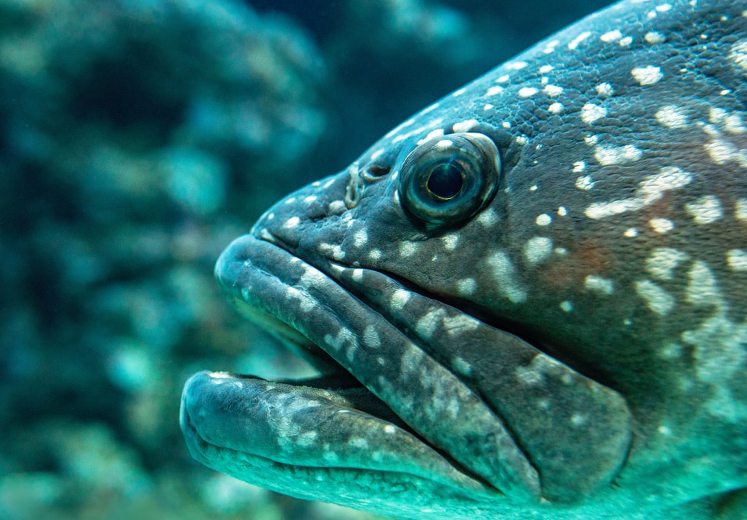 A close up of a Queensland Grouper (or Groper as they called in Australia), at the Cairns aquarium. I estimate this fish to be about 1.2 metres long (over a yard).