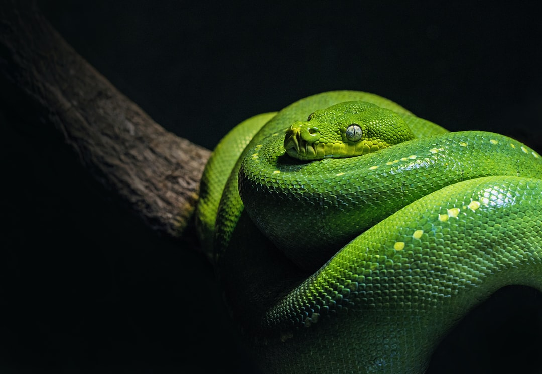 A green tree python in a typical pose, coiled over a branch. This species is found naturally in Australian and Papua New Guinean rain forests, and they eat warm-blooded prey. They are very similar the the Emerald Tree Boa of the South American rain forests.