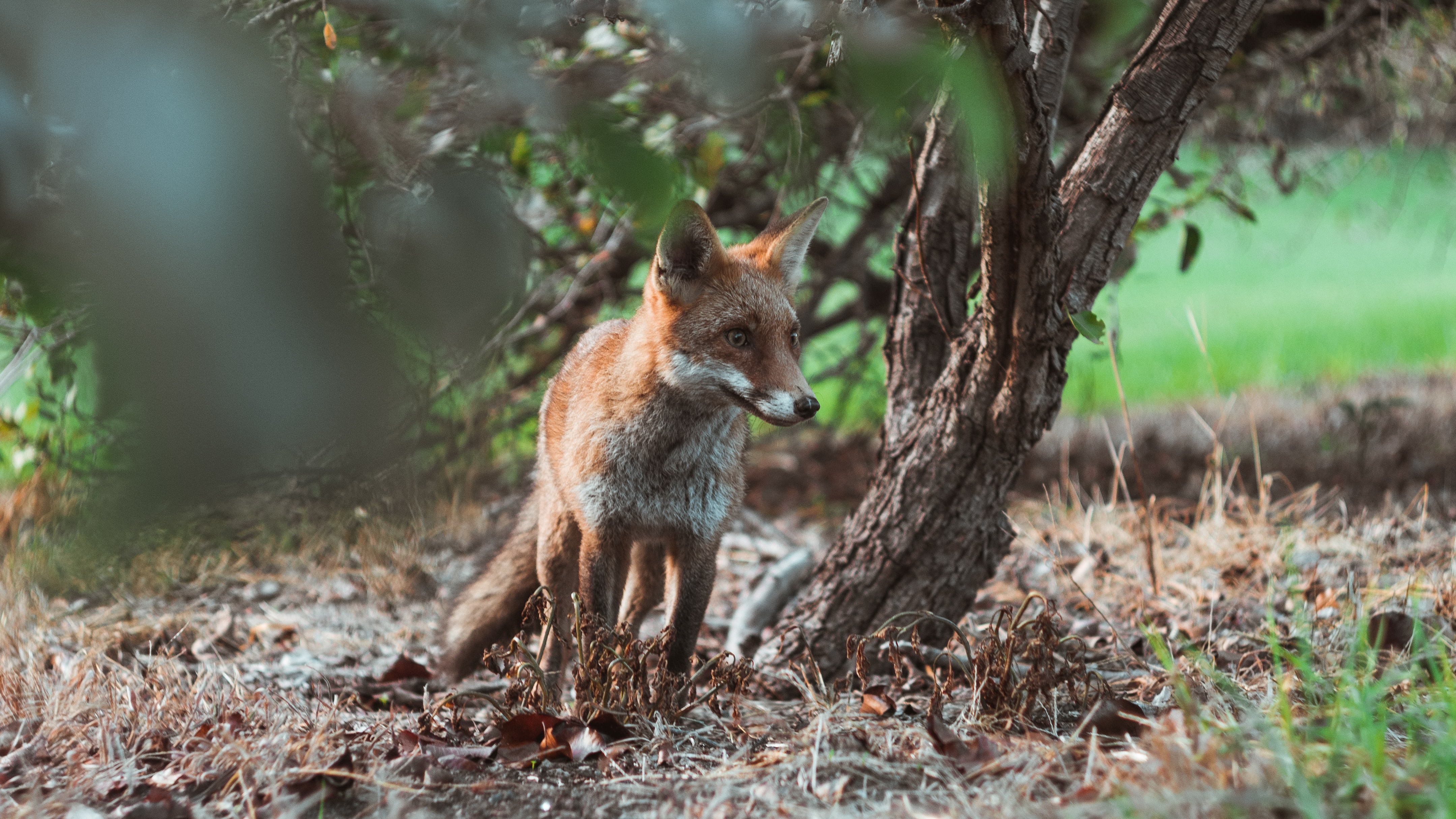 fox standing beside brown tree under shade of tree at daytime