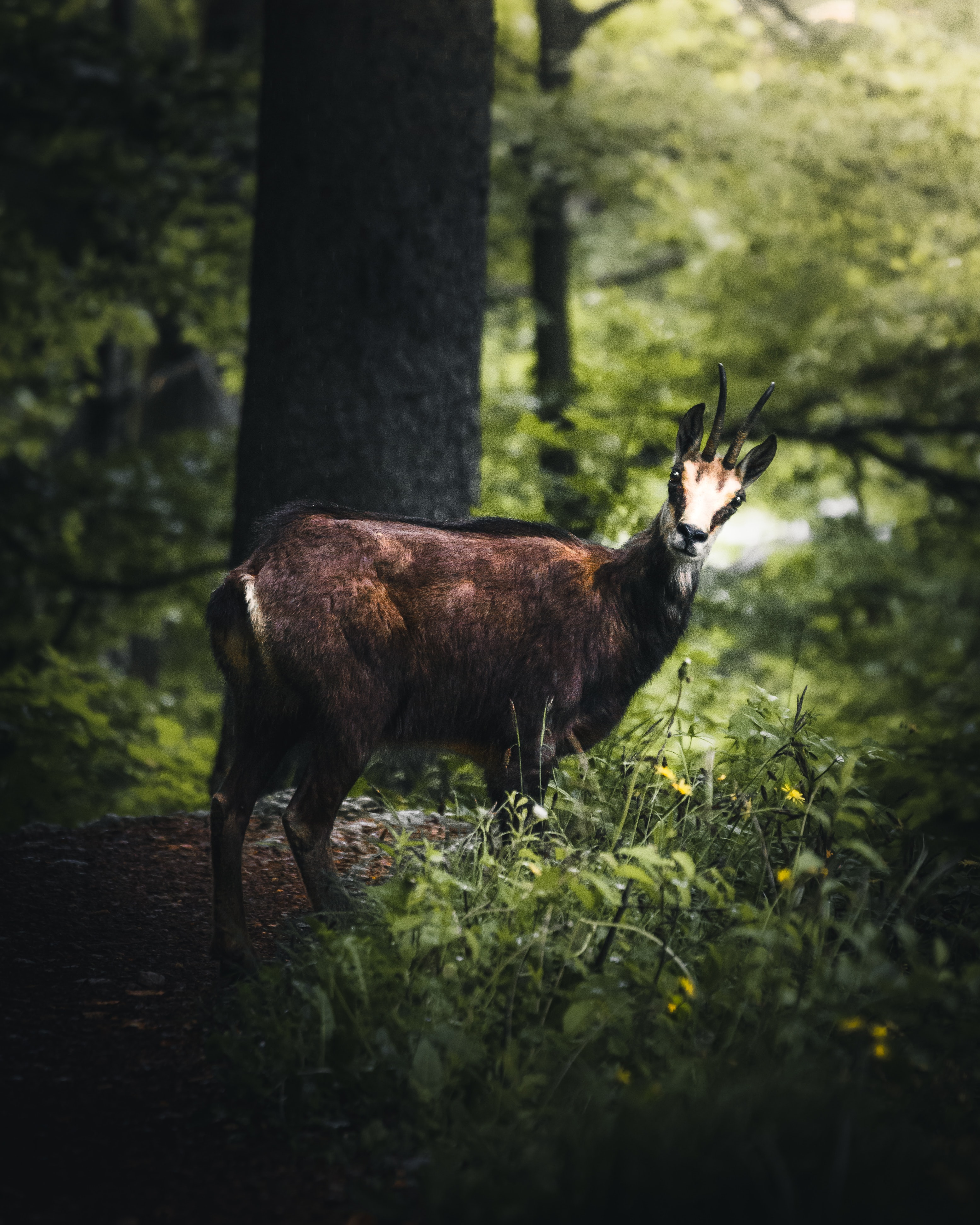 brown antelope in forest