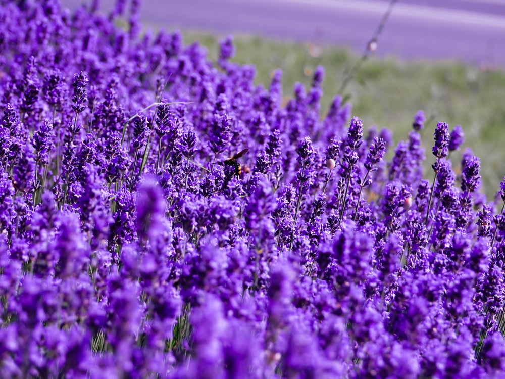 purple lavender flower field closeup photography