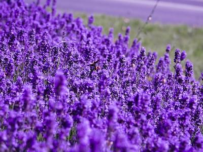 purple lavender flower field closeup photography