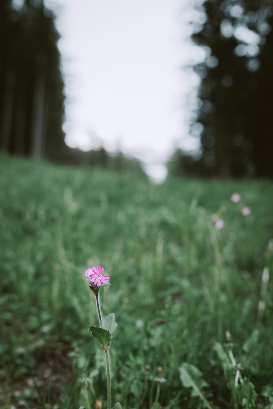 Red campion or its scientific name silene dioica.