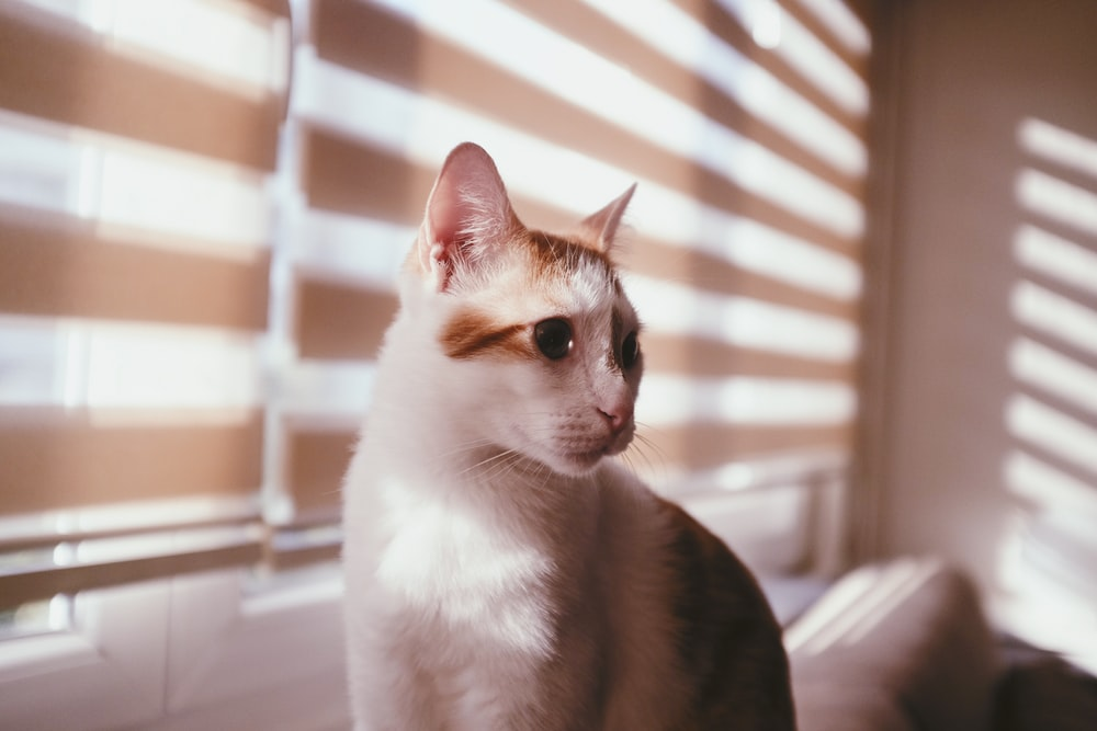 white and brown cat near window blinds