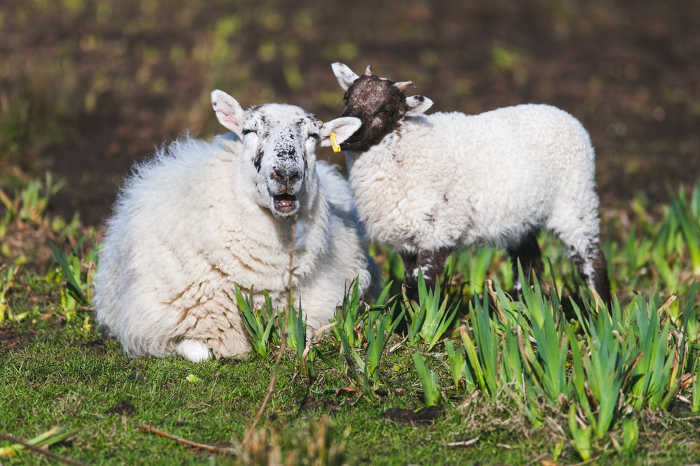 white sheep and lamb lying on grass field during daytime