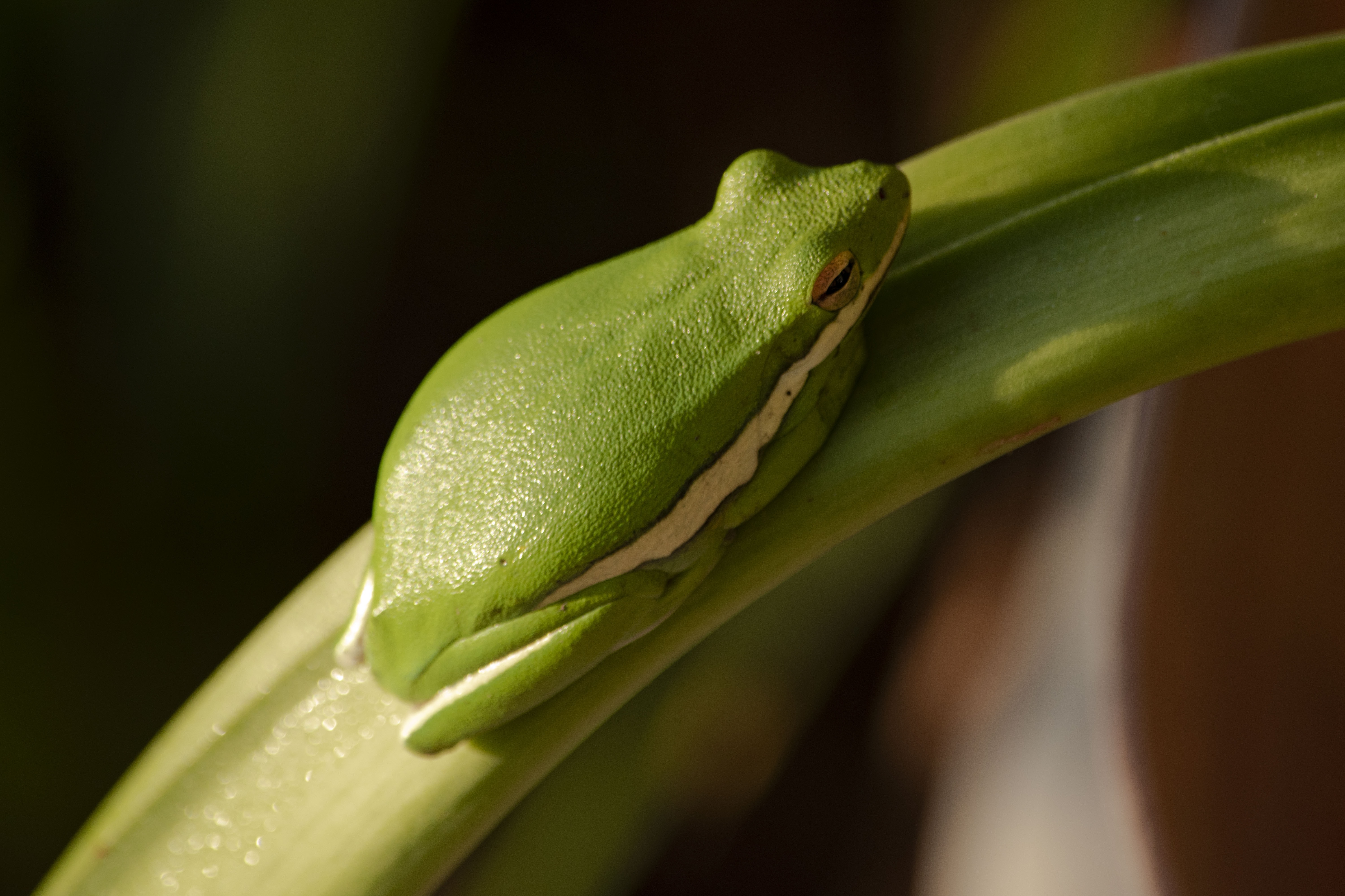 green tree frog on green leaf plant