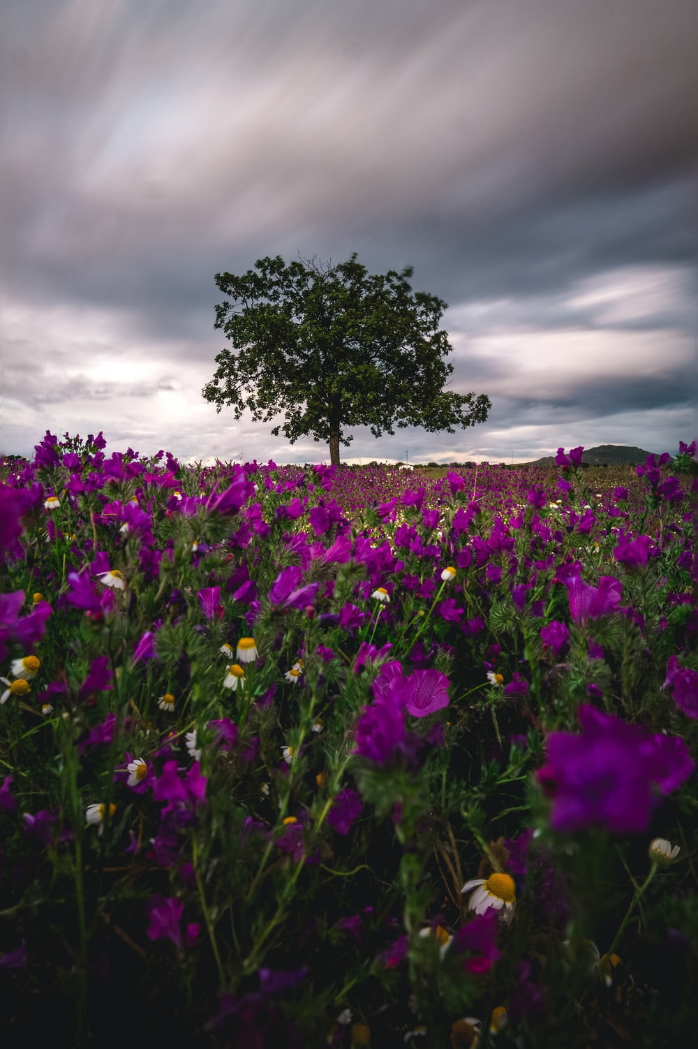 time lapse photo of purple flower field
